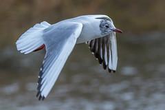 Black-headed gull (andymulhearn) Tags: canon gull somerset blackheaded apexpark flickrbirds eos7d2 sigma150600mmc