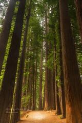 Upstanding ... (muzzpix-nz) Tags: rotorua redwoods