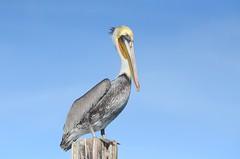 Brown Pelican (Pelecanus occidentalis) DDZ_5854 (NDomer73) Tags: bird december pelican best better brownpelican elkhornslough 2015 17december2015