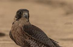 Young falcon portrait II (Magic life gallery) Tags: falcon kuwait kw ahmadi