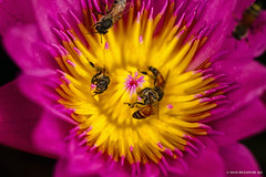 Bees (M. Ali Changezi) Tags: pink flower macro up yellow closeup photography waterlily close outdoor bee ali drizzle drizzling
