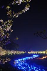 20160305-DSC_2322.jpg (d3_plus) Tags: street sea sky plant flower nature japan spring nikon scenery nightshot cloudy bloom  cherryblossom  sakura lightup nightview 28105mmf3545d nikkor    shizuoka    izu   28105   rapeblossom    28105mm  zoomlense  minamiizu    kawazuzakura    28105mmf3545 d700 281053545  nikond700 shimokamo aiafzoomnikkor28105mmf3545d nightcherryblossom 28105mmf3545af    southcherryblossomandrapeblossomfestival aiafnikkor28105mmf3545d shootingstarsandsakurainnight sakurainnight