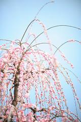 20160305-DSC_1645.jpg (d3_plus) Tags: park street sky plant flower nature festival japan garden 50mm drive nikon scenery plum bloom  odawara nikkor  ume  kanagawa  touring    50mmf14      50mmf14d  nikkor50mmf14 umeblossom     afnikkor50mmf14  50mmf14s d700 kanagawapref nikond700 aiafnikkor50mmf14 nikonaiafnikkor50mmf14