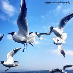 on the sky (noyan7) Tags: blue sky bird birds turkey gull trkiye turkiye turquie trkei mavi turquia gkyz ku turchia mart turkei kular noyan noyan7 noyan7photography noyanerdemphotography