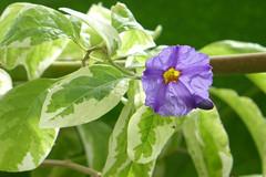 Lycianthes rantonnetii Linns Legacy (wundoroo) Tags: newyork flower march spring purple bronx nybg newyorkbotanicalgarden solanaceae nolengreenhouse
