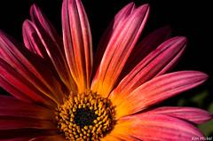 African Daisy (Ken Mickel) Tags: flowers plants flower nature colors gardens closeup garden photography flora blossom blossoms africandaisy upclose
