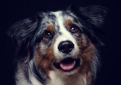 Yukon (stephan_troger) Tags: portrait dog pet hund aussie
