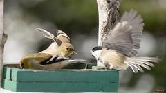 Chardonneret femelle et  Msange (rivai56) Tags: oiseau chardonneret