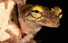 Osteocephalus cf. buckeyi (Diego Meneghelli Fotografia) Tags: nature animal brasil amazon amphibians treefrog herpetology amaznia anura amphibia hylidae rondnia anfbios osteocephalus