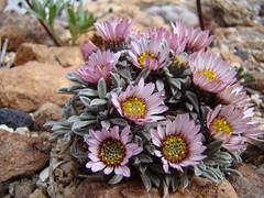 Townsendia spathulata DSC08187 (sierrarainshadow) Tags: spathulata townsendia