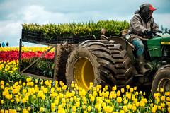 IMG_3876.jpg (PDXPeanut) Tags: flowers tractor nature clouds oregon landscape unitedstates tulip wilsonville farmer johndeere tulipfestival 2015