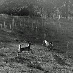 scampering (weltreisender2000) Tags: morning blackandwhite bw sunlight white georgia landscape deer tailed hiawassee