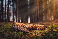 Zauberwald (Christian Wilmes) Tags: trees light sun forest licht sunrays wald bäume tannenzapfen emsland dohren hexenberge