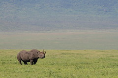 Black Rhino (Hassaneini) Tags: wildlife ngorongorocrater blackrhino tanzania2016