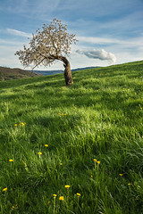The twisted tree (helena678) Tags: blue light tree green yellow landscape switzerland evening spring nikon meadow dandelion april lonely twisted cherrytree