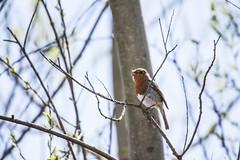 Robin (1) (Mal.Durbin Photography) Tags: nature birds newport naturereserve newportwetlands maldurbin goldcliffnewport