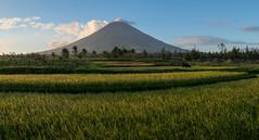 Mt Mayon. Paddy panorama (Laura Jacobsen) Tags: volcano philippines mayon bicol luzon mtmayon legaspi legazpi bicolandia mayonvolcano