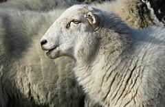 The Sheep's Head! ('cosmicgirl1960' NEW CANON CAMERA) Tags: white black animals sheep devon grazing widecombe yabbadabbadoo 15challengeswinner