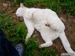 Defenseless cat |  (over_frost) Tags: white japan cat spring april  saitama     4 defenseless
