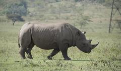 Black Rhino (howzey) Tags: africa kenya rhino blackrhino lakenakuru