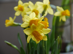 Påskliljor (nilsw) Tags: gult fotosondag fs160327