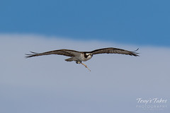 Osprey returns from Home Depot sequence - 2 of 27