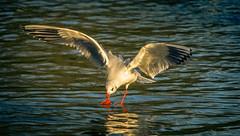 SSS_1134.jpg (S.S82) Tags: park uk winter sunset england nature birds evening inflight action unitedkingdom wildlife gull gb touchdown westmidlands solihull blackheadedgull randomclicks bruetonpark ss82