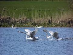 Mute Swans at launch! (davidntaylor1968) Tags: nature birds swans naturephotography wildlifenature yorkshirewildlifetrust wildlifephotography natureonyourdoorstep boltononswalenaturereserve