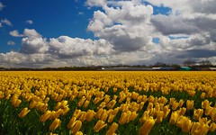 Yellow tulips (syssy70) Tags: flowers holland yellow landscape colours tulips netherland land tulipani
