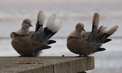 I won't tell you again, stop copying me (Peanut1371) Tags: birds dove tail feathers collared collareddove nationalgeographicwildlife