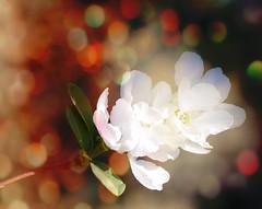 bokeh flower - Explored (Pixie Pix (Thelms Eye)) Tags: uk flowers nature blossom bokeh aprilflowers2011