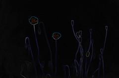 The universe - beginning and end  -    (okop555) Tags: voyage abstract primavera nature dark landscape nikon village view bokeh ngc may ukraine valley poppy viaggio manualfocus poppyworld manualfocuslens helios77m4 nikond7000 vinnytsiaregion
