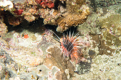 IMG_3781 (avogau) Tags: taiwan diving greenisland lionfish  pterois