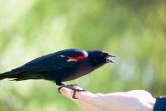 Brave Little Guy (Stirrett6) Tags: male bird blackbird