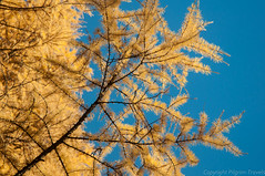 Larch in the sky (pilgrim.ru) Tags: november blue autumn sky abstract color tree fall nature beautiful sunshine yellow forest season golden october colorful branch bright background sunny foliage larch