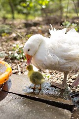 Love (c.r.borders) Tags: geese goose gosling farmlife mothergoose sebastopolgeese