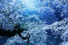Chidorigafuchi (guen-k) Tags: sigma  cherryblossom sakura chidorigafuchi  fullbloom dp2quattro