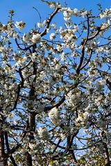 IMG_5362 (seba82) Tags: primavera tommaso fiori filippo seba marianna ciliegi vignola familiasalati