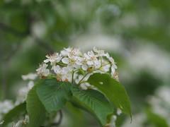 (Polotaro) Tags: flower nature pen olympus   4    mzuikodigital45mmf18 epm2