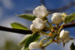 flowering pears 1 (intui.pro) Tags: plant flower tree fruits field garden cherry spring blossom outdoor bloom april apricot flowering depth