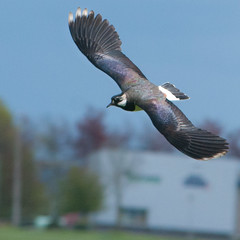 Lapwing (Michael Emmerich (Photographer)) Tags: lapwing