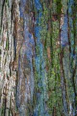160217-20 Texture (clamato39) Tags: canada tree texture qubec arbre glace corce