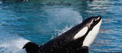 Inouk en action (orcamel30) Tags: nikon action orca souffle marineland killerwhales orcinus orque puissance inouk 55300 d7100 comportement epaulard
