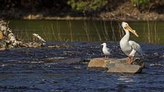 American White Pelican (TimmyGs Photos) Tags: