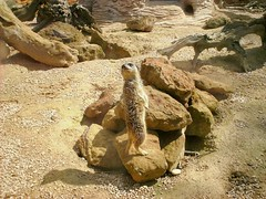 Meerkat (SJW_Pics) Tags: wild sun animal cat dessert meer stones wildlife sandy shift sunny lookout prey predator meercat predators woburn strones safarie animmals sjw sjwpics predetors samwilsonpics predetord
