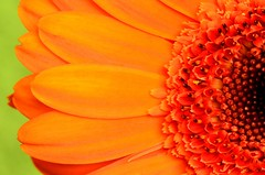 When you take a flower... (Steven H Scott) Tags: orange plant flower macro nature up petals pattern close gerbera organic