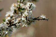 Blackthorn (LeighBirder) Tags: blossom blackthorn prunus spinosa