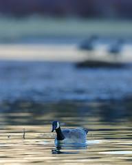 on golden water (fred.colbourne) Tags: canada bird wildlife goose alberta canadageese banffnationalpark vermillionlake