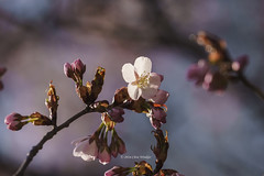 Almost Spring  (Alpha 2008) Tags: pink tree nature japan cherry spring sapporo hokkaido blossom sony   cherryblossom  alpha            sonysal70400g2