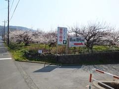 16i5157 (kimagurenote) Tags: apricot ume  japaneseapricot  prunusmume sogabairin   odawarakanagawa